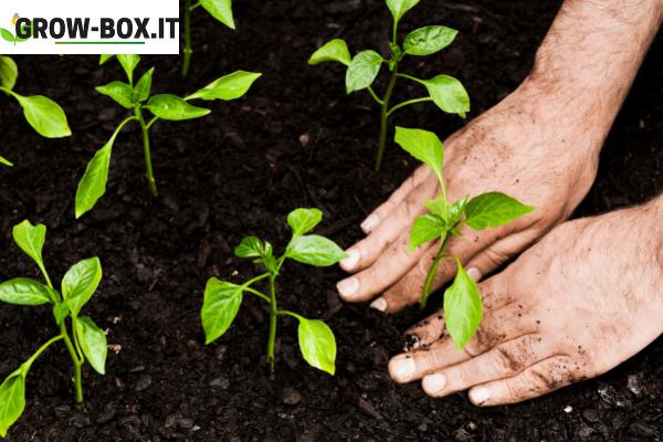 piante autofiorenti